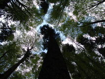 Trees. Seen from below in Romania Stock Photos