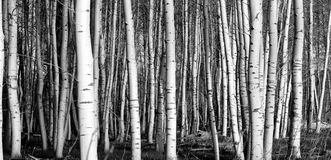 Monochrome Horizontal Birch Aspen Trees Royalty Free Stock Photo