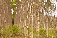 Trees. Eucalyptus forest of tree background Royalty Free Stock Photo