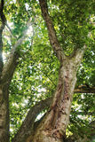Trees. Royalty Free Stock Photography