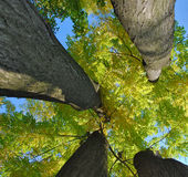 Trees. Image of trees going up to the sky Stock Image