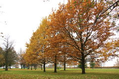 Trees. Oak trees with yellow and brown leaves. Some leaves are dropped down on the ground. That is the autumn stock images