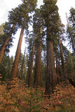 Trees. Sequoias,calaveras big trees state park,california,sierra nevada Royalty Free Stock Images