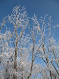 Trees. White trees and blue sky in winter Royalty Free Stock Image