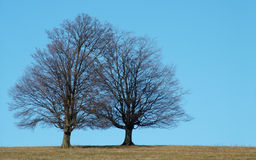 Trees. Tree pair Royalty Free Stock Images