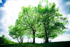 Trees. In spring afternoon, back-lit Royalty Free Stock Image