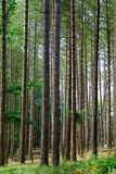 Trees. Tall straight pine tree woods in summer Stock Photo
