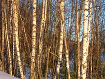 Trees. Birch Royalty Free Stock Image