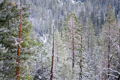 Trees. Colorful trees in Yosemite in winter Stock Photos