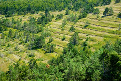 Trees. In a rows on a slope in Crimea Stock Image