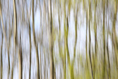 Trees Abstract. Abstract shot of Silver Birch Trees Stock Photo