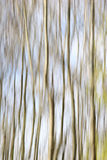 Trees Abstract. Abstract shot of Silver Birch Trees Royalty Free Stock Photos