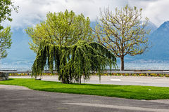Trees adorn the promenade in Vevey Royalty Free Stock Photography