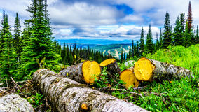 Trees affected by the Pine Beetle are being logged Royalty Free Stock Photo