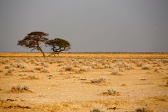 Trees in african desert Stock Photos