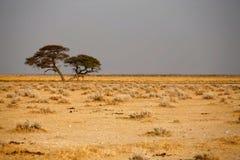 Trees in african desert Stock Photos
