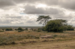 Trees in the African savannah Royalty Free Stock Image