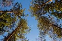 Trees against the blue sky Royalty Free Stock Images