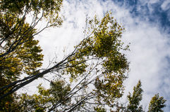 Trees against blue sky Royalty Free Stock Image