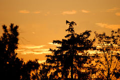 Trees against a golden sunset. A view of trees silhouetted against a golden sky at sunset royalty free stock images
