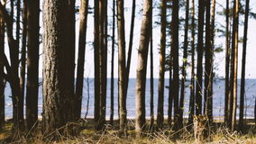 Trees against the Gulf of Finland. stock footage