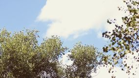 Trees against the sky. Trees against the blue sky stock video footage