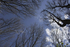 The trees against the sky. The trees on a blue sky background,in spring forest Stock Photo