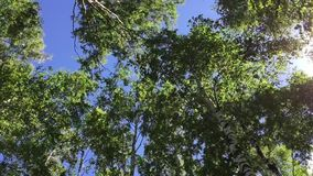 Trees against the sky. Trees in summer against a blue sky with clouds stock footage