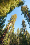 Trees against the sky in Yosemite Royalty Free Stock Photography