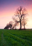 Trees alley on green spring field Royalty Free Stock Photo