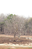 Trees along pench river bed in pench tiger reserve Royalty Free Stock Image