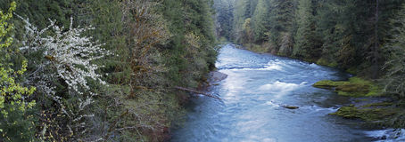 Trees along the Santiam River, Stock Images