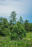 Trees of Altay Stock Images