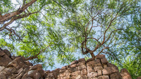 Trees on an ancient stone castle. In thailand Royalty Free Stock Photo
