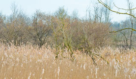 Free Trees And Reed In A Field In Winter Stock Photos - 88432953