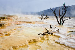 Trees And Terrace, Mammoth Hot Springs Royalty Free Stock Photo