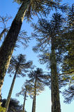 Trees. Araucaria forest in the national park Nahuelbuta chile Royalty Free Stock Photography