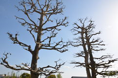 The trees around Himeji Castle. Stock Image