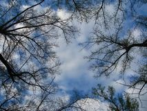 Trees aspire up into the white clouds royalty free stock photo