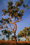 Trees in australia. Typical australien landscape with eucalyptus trees und blue sky stock photo
