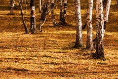 The trees in autumn Royalty Free Stock Photos