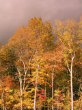 Trees in Autumn. Trees in the fall, with dramatic lighting and dark sky Royalty Free Stock Photography