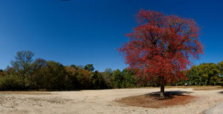 Trees in autumn. Single tree with red autumn leaves surroundedby trees with green leaves Stock Images
