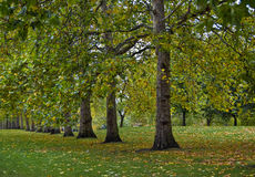 Trees in the autumn. Trees and fallen leaves in the autumn Royalty Free Stock Image