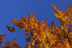 Trees in autumn Royalty Free Stock Photography