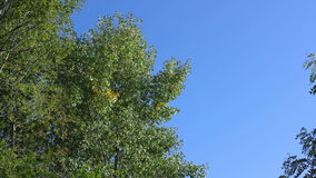 Trees in autumn on a background of blue sky. stock video