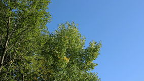 Trees in autumn on a background of blue sky. stock video footage