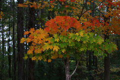 Trees in Autumn. Beautiful colorful fall Autumn season scene of orange, red, yellow trees in forest Royalty Free Stock Photos