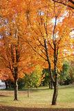 Trees & Autumn colors. A display of Autumn colors adorns a local park Royalty Free Stock Photos