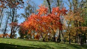 The trees in autumn colors in Mezhigirya stock footage